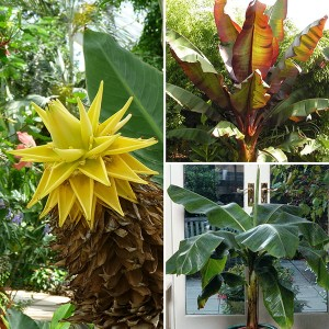 Architectural Banana Plant Collection with 3 Varieties